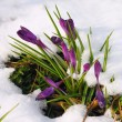 Постер, плакат: Crocus in the snow