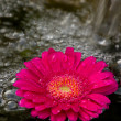Spa Gerber Daisy — Stock Photo