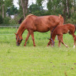 Stock Photo: Baby horse and mare equine