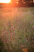 Wild flowers in the setting sun — Stock Photo