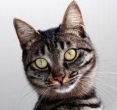 Mourovatá kočka — Stock fotografie
