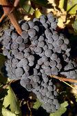 Grapes on Vine — Stock Photo