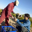 Stock Photo: Grapes Harvesting