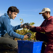 Grapes Harvesting — Stock Photo