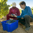 Grapes Harvesting — Stock Photo #25792921