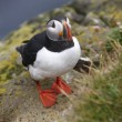 Puffin on a cliff. Iceland. Latrabjarg Peninsula. — Stock Photo