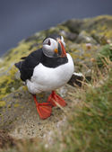Puffin on a cliff. Iceland. Latrabjarg Peninsula. — Stock fotografie
