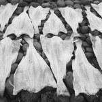 Open codfish drying over stones. — Stock Photo