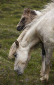 Icelandic horse grazing and colt — Stock Photo