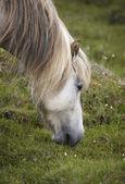 Icelandic horse grazing on the ground — Stock Photo