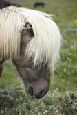 Iceland. Vatnsnes Peninsula. Icelandic horse. — Stock Photo