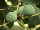 Ripe figs on a tree. — Stock Photo