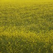 Iceland. Yellow flowers and green field. — Stock Photo