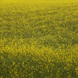 Iceland. Yellow flowers and green field. — Stock Photo #34974943