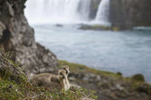 Iceland. A couple of icelandic eider ducklings and Godafoss wate — Stock Photo