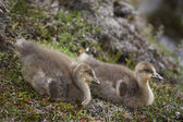 Couple of icelandic eider ducklings. — Stock Photo