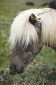 Icelandic horse grazing on the ground. — Stock Photo