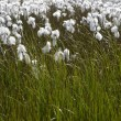 Arctic cotton-grass in Iceland. — Stockfoto