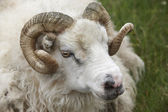 Closeup of one Icelandic Big Horn Sheep. Seydisfjordur. — Stock Photo