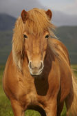 Icelandic wild horse closeup — Stock Photo