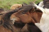 Iceland. Icelandic horses with green background. — Stock Photo