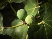 Ripe figs on a tree — Stock Photo