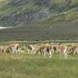 Patagonian landscape with vicunas, lake and mountains. — Stock Photo