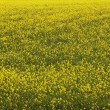 Iceland. Yellow flowers and green field — Stock Photo #46208349