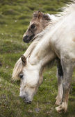 Icelandic horse and colt grazing on the ground — Stockfoto