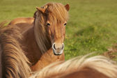 Brown icelandic horses with green background — 图库照片