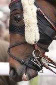 Race horse head ready to run — Foto Stock