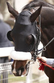 Race horse head with blinkers detail — Stock Photo