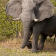 Charge of elephant — Foto Stock