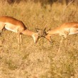 Stock Photo: Impalas fighting