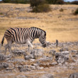 Zebra walking — Stock Photo #18179707