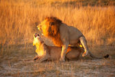 Couple of lion — Stock Photo