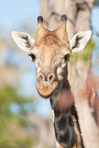 Girafe — Stock Photo