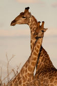 Couple of girafe — Stock Photo