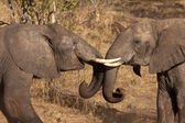 Elephants are playing — Stock Photo