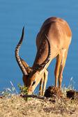 Impala eating — Stock Photo