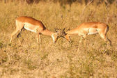 Impalas fighting — Stock Photo