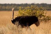 Ostrich in savannah — Stock Photo