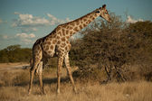 Girafe in evening — Stock Photo