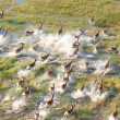 Herd of impalas — Stock Photo