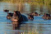 Group of hippopotamus — Stock Photo