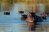 Herd of hippopotamus — Stock Photo