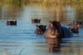Herd of hippopotamus — Stock Photo