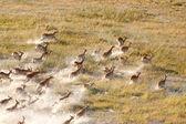 Branco di impala — Foto Stock
