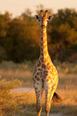 Girafe on sunset — Stock Photo