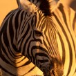 Zebra on evening - Stockfoto